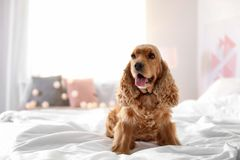 在床上的逗人喜爱的猎犬狗在家 免版税库存照片