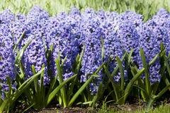 在床上的紫色风信花 免版税库存图片