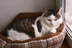 在床巢放置的汤姆公猫 库存图片