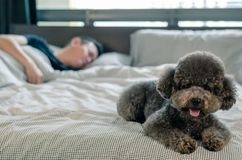 在床放置的一只可爱的幼小黑狮子狗等待所有者与阳光的早晨醒在杂乱床上 库存照片