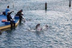 在库拉索岛水族馆的海豚展示 库存照片