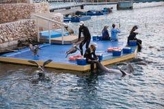 在库拉索岛水族馆的海豚展示 库存图片