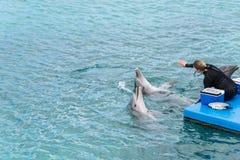 在库拉索岛水族馆的海豚展示 图库摄影