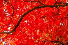 从在底下一棵红色秋天树的看法 库存照片