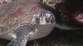 在底部关闭的海龟头自然菲律宾水中  影视素材