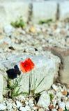 在废墟之中的一朵花 免版税库存图片