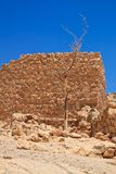 在废墟前景的树在马萨达的 库存图片