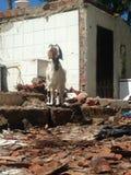 在废墟的山羊 免版税库存照片