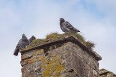 在废墟的烟囱的三只鸽子 免版税库存图片