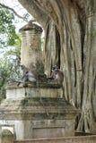 在废墟的猴子由大榕树 图库摄影