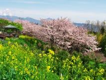 在废墟Ichiya城堡的樱花 库存照片