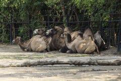 在度假的骆驼 免版税库存图片