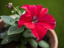 在庭院、春天在英国-红色和绿色里 免版税库存图片