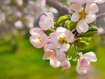 在庭院关闭的开花的苹果树  库存照片