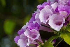 在庭院关闭的紫色花背景 图库摄影