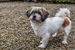 在庭院前面的小狗常设外部 免版税图库摄影