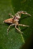 在庭院叶子的一只微小的跳跃的蜘蛛 免版税库存图片