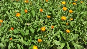 在庭院和柳条板材的万寿菊花有开花的 4K 股票录像