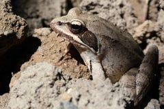 在庭院土壤的欧洲人共同的棕色青蛙蛙属temporaria 免版税库存图片