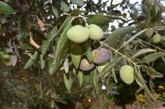 在庭院庭院里变酸在一棵树的绿橄榄 免版税库存图片