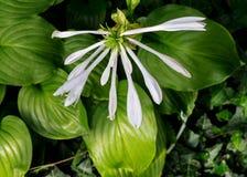 在庭院开花的玉簪属植物 库存照片