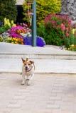 在庭院户外奔跑和跃迁的愉快的狗乐趣往照相机 好日子在庭院里 免版税库存照片