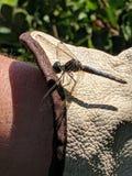 在庭院手套的蜻蜓 库存图片