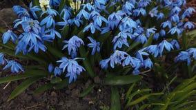 在庭院打击的蓝色花由风