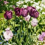 在庭院掀动转移的美丽的紫色和桃红色郁金香 免版税库存照片