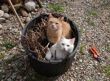 在庭院木盆的两只猫 库存照片
