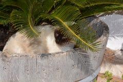 在庭院木盆的暹罗猫 免版税库存图片