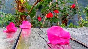 在庭院桌上的桃红色九重葛花 库存照片