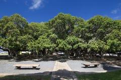 在庭院正方形的榕树 在前面街道,毛伊,夏威夷上的Lahaina港口 库存图片