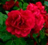 在庭院特写镜头的开花的红色玫瑰 库存图片