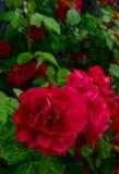 在庭院特写镜头的开花的红色玫瑰 图库摄影