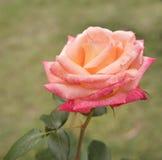 在庭院生长的美丽的玫瑰色花 免版税库存图片