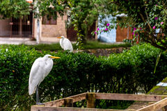 在庭院的两只白色苍鹭 库存图片