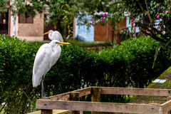 在庭院的两只白色苍鹭 免版税库存照片