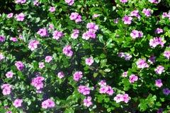 在庭院的充满活力的桃红色花 库存照片