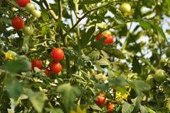 在庭院的小的蕃茄 免版税库存照片