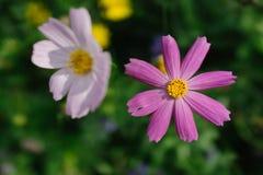 在庭院的桃红色菊花 库存图片