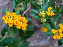 在庭院的橙色花 免版税图库摄影
