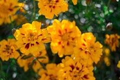 在庭院的橙色,黄色和红色万寿菊花在热的夏天秋天天 免版税库存照片