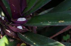 在庭院的牡蛎百合 免版税库存图片