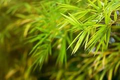 在庭院的特写镜头竹叶子早晨 选择聚焦 图库摄影