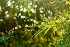 在庭院的特写镜头竹叶子早晨 选择聚焦 免版税库存图片