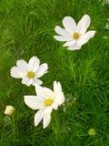 在庭院的白花 库存照片