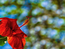 在庭院的红色木槿花 图库摄影