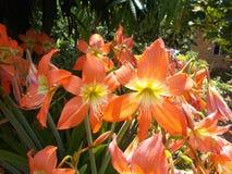 在庭院的红色橙色孤挺花花 免版税库存图片