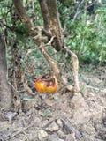 在庭院的腐烂的蕃茄 免版税库存图片